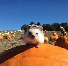 i may have found the cutest animal ever, spikes and all.