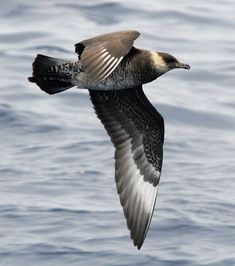 Pomarine Skua (Stercorarius pomarinus) a.k.a. Pomatorhine skua, known as pomarine jaeger in the Americas, is a seabird in the skua family Stercorariidae. It is a migrant, wintering at sea in the tropical oceans.