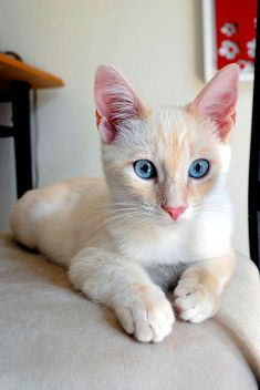 Snowy, 5 month old flame-point Siamese kitten