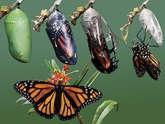 Here is a time progression photograph showing a Monarch Butterfly coming out of its cocoon during the final phase of metamorphosis. Butterfly Cocoon, Butterfly Chrysalis, Monarch Butterfly, Butterfly Pupa, Butterfly Species, Butterfly Wings, Butterfly Life Cycle, Animal Symbolism, Mother Nature