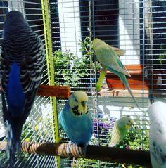 #budgie #budgerigar #budgies #budgiesofinstagram #budgiebreeder #budgielove #budgiestagram #instabudgie #aviary #parakeet #parrot #bird #birdsofinstagram #birdlife #keet #rainbowbudgie #englishbudgie #wellensittich #wellensittiche #nature #beautiful #lovebird #pet #periquito #periquitos #periquitoaustraliano #animal #cutebudgie #native #babybird by arantxa_67 http://www.australiaunwrapped.com/