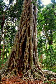 Strangler Fig, also called strangler (genus Ficus), named for their pattern of growth upon host trees, which often results in the host's death. Tree Wall Art, Tree Art, All Nature, Science And Nature, Fig Drawing, Drawing Trees, Rainforest Trees, Rainforest Pictures, Jungle Decorations