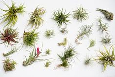 Air plants come in a wide variety of sizes, colors and shapes. The one thing they have in common? They do not need soil to survive. They receive their nutrients through their leaves.