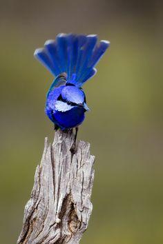 blue wren 藍鷯