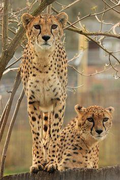 Cheetahs (by marwelladoptions)