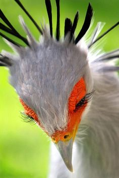 secretary bird eyelashes