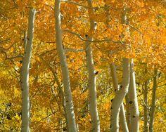 P. KENT FAIRBANKS ARCHITECT / PHOTOGRAPHER - TREES - yellow and white