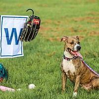 Gainesville Florida American Pit Bull Terrier Meet Wrigley A