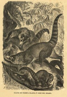 1883 White Nosed Coati Antique Print Engraving  by CarambasVintage, $16.00