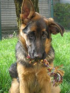 German Shepherd dog attack rooster and the results Red German Shepherd, German Shepherd Puppies, Big Dogs, I Love Dogs, Cute Dogs, Dog Comparison, Loyal Dogs, Schaefer, Gsd Puppies