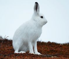 Mountain Hare VII by nordfold