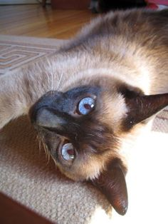 "siamese cats | In Thailand, Siamese cats are called ""Wichien-maat,"" a name that means ..."