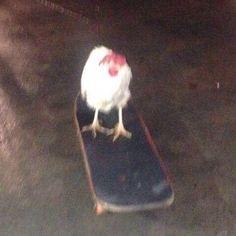 Rooster riding a skateboard XD Bedroom Wall Collage, Photo Wall Collage, Picture Wall, Photographie Indie, Animal Memes, Funny Animals, Reaction Pictures, Funny Pictures, Mood Pics
