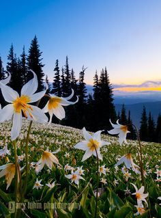A field of Avalanche Lilies (Erythronium montanum) at sunset in the Olympic mountians, Olympic National Park.