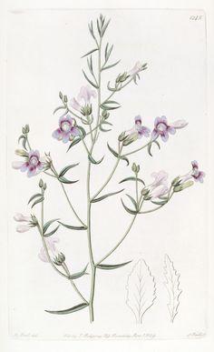 Penststemon triphyllum ~ by John Lindley