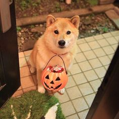 """柴犬, Shiba Inu """"Trick or Treat""""...♥ ~lisa"""