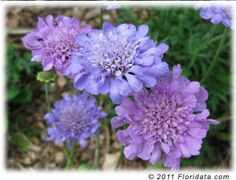 'Butterfly Blue' is an ideal plant for a wild or butterfly garden or for the rock garden. Use scabious in a sunny border or in front of beds of taller perennials. The sweet smelling flowers attract bees and butterflies and last well as cut flowers. The dried seedheads are attractive in arrangements