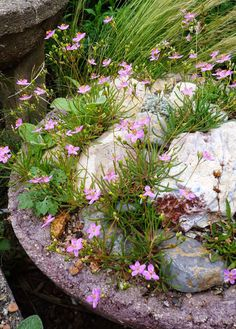 An Alphabetarium of Sky island gems: A celebration of lesser known Madrean flora. Garden Troughs, Wild Flowers, Flora, Succulents, Bulb, Gardening, Sky, Celebrities, Outdoor Decor