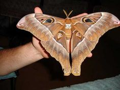 The title of largest moth in the world goes to the Hercules Moth, which are endemic to New Guinea and northern Australia. The insects have a wingspan of 27 cm., which is over 10 inches wide.