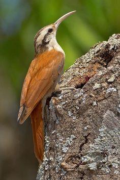 Arapaçu-de-cerrado, Lepidocolaptes angustirostris