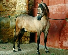 Pura Raza Española colt-junior stallion ready for dressage class. I love photos like these - gritty and textured but not photoshopped to the teeth. It has an aura as if the Spanish horse is back in its authentic grand milieu. Well, it is - these buildings are many hundreds of years old.