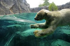 Aussie, a 27-year-old polar bear at the Brookfield Zoo in Brookfield, Illinois #pixiemarket