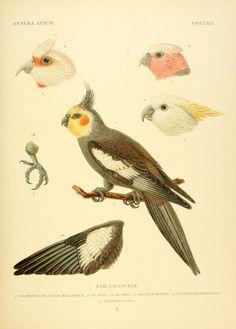 Genera avium / By Wytsman, P, (Philogène. 1866-1925