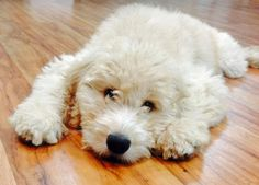 Cabo the Goldendoodle - So much cuddles! #TooCute