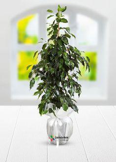 Bol yeşillikli Benjamin Saksı Bitkisi her zaman beğenilen ve tercih edilen saksı çiçeklerinden olmuştur.  Yaşam alanlarınızda dekoratif bir çiçek olarak kullanabileceğiniz bol yeşillikli benjamin saksı bitkisini  sevdiklerinize de hediye edebilirsiniz.Ayrıca açılış içiçn uygun ve ofis için bakımı kolay ve dekoratif bir saksı çiçeğidir. cicekhediyemarket.com