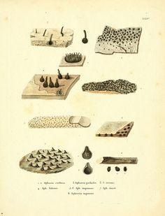 Icones Pictae Specierum Rariorum Fungorum in Synopsi Methodica Descriptarum  Paris, Amand Koenig,1803-1808. | Biodiversity Heritage Library, Smithsonian Institute