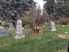 Todd was at Grandview Cemetery in Fort Collins last night. What he found was a pair of deer who were grazing between the headstones. Fort Collins Co, Cemetery, Deer, Live, Pictures, Animals, Photos, Animales, Animaux