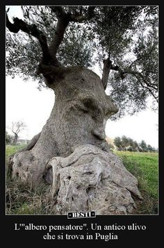 """""""Thinking Tree"""" an ancient olive tree in Puglia Italy.The """"Thinking Tree"""" an ancient olive tree in Puglia Italy."""