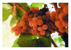 The Birthplace of Gewürztraminer: http://epicurean-traveler.com/the-birthplace-of-gewurztraminer/