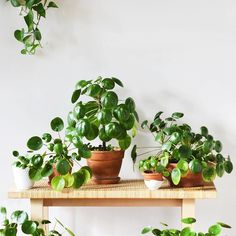 """Pilea are a family affair over at @studioplants' space. Since the original post has a ton of great care info we couldn't help wanting to share! For those unfamiliar this is Pilea peperomioides the insta-famous """"Chinese Money Plant"""" aka """"Pancake Plant."""" Happy to have this one in stock! We post a new photo from #InteriorRewilding each week. Tag your indoor green oasis for a chance to be featured."""