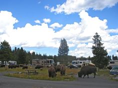 Bison walking through Bridge Bay Campground, at the start of the trail at Yellowstone National Park, The East, Natural Bridge Trail, Wyoming