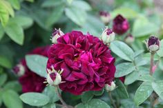 rose Tuscany Superb (gallica)