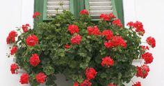 A muskátli az egyik leggyönyörűbb virág. Azt kevesen ismerik, hogy a muskátli sokkal virulóbb lehet, ha megfelelően kezeled.