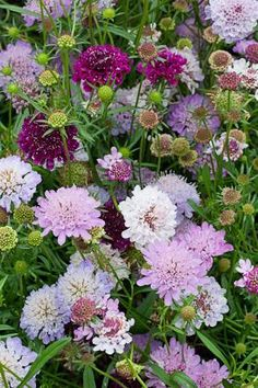 Scabious 'Tall Double Mix' - these grow to almost 1m tall! A brilliant addition to the cutting garden. Sow under cover in March/September, or buy ready to plant out seedlings