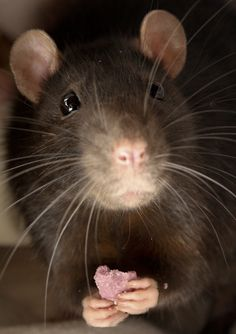 Spifftastic pet rat cage ideas your ratties will love that enhance your home decor, are easy to set up and won't break your budget. Rare Animals, Animals And Pets, Funny Animals, Strange Animals, Funny Rats, Cute Rats, Pet Rat Cages, Rodents, Hamsters