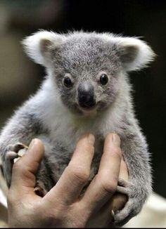 509 Best Koala Love 5 Full Images Koala Bears Koalas Animal Pics