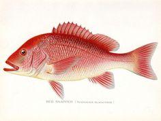 1902 Red Snapper Antique Denton Fish Print by AntiquePrintGallery