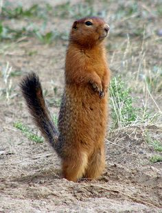 Arctic Ground Squirrel | photo