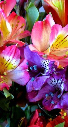 Explosión de color con Alstromelias.