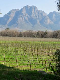 Solms Delta Winery in Franschhoek in South Africa. Vineyard backstopped by mountains.
