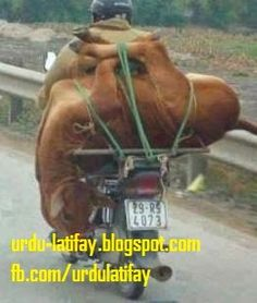Urdu Latifay: Funny Photos, Funny Pictures, Pakistani Funny Pictures, Cow on Motor Cycle, Cow on Bike