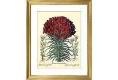 """Basilius Besler, Lily - 21"""" x 25"""" - group w/ other print w/ other red flower etching in Family Room"""
