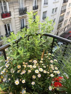 Mon balcon parisien avec chrysanthème, kalimeris, Paris 19e (75)