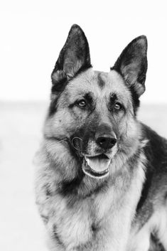 A wonderful German Shepherd portrait #gsd #germanshepherd