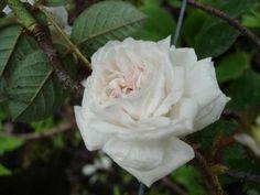 blog di Sara: il sogno di una rosa