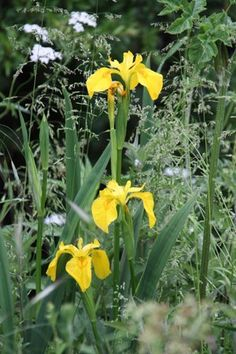 Yellow flag Iris, yellow, green, and black dyes